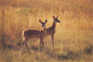 deer_in_field